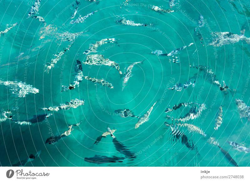 Wimmelbild im korsichen Meer Wasser Sommer Wildtier Fisch Fischschwarm Schwarm Schwimmen & Baden viele wild blau türkis Zusammenhalt Tiergruppe Meerwasser