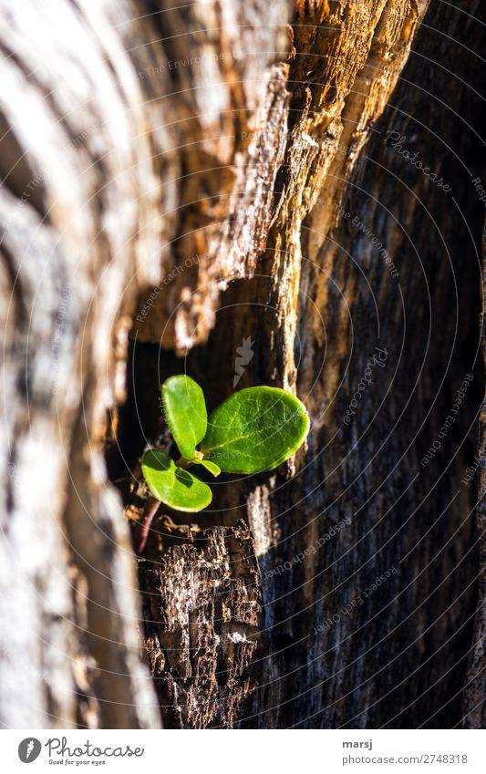 Neues aus Altem Leben Natur Frühling Sommer Pflanze Blatt Wildpflanze Preiselbeerblätter Preiselbeerpflanze Jungpflanze Holz Geborgenheit Wachstum klein