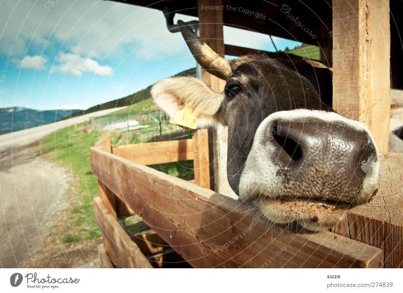Choco Moo Himmel Natur Tier Wege & Pfade natürlich niedlich Tiergesicht Hütte Kuh Bioprodukte Biologische Landwirtschaft Tierzucht Viehzucht Nutztier Alm