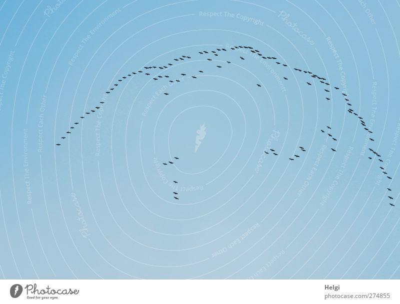 Formationsflug... Tier Wolkenloser Himmel Frühling Schönes Wetter Wildtier Vogel Kranich Schwarm Bewegung fliegen ästhetisch authentisch einfach Zusammensein