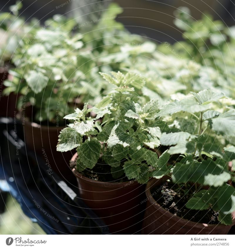 green for sale Natur Pflanze Frühling Sommer Blatt Grünpflanze Nutzpflanze Topfpflanze Minze Garten frisch Gesundheit grün Kräuter & Gewürze Markt Marktstand