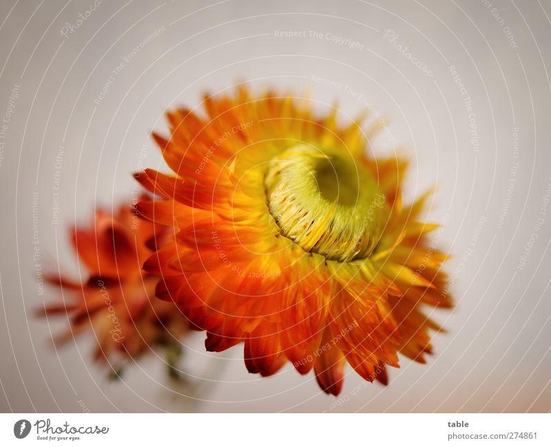 Burzeltagsblume... Natur schön Pflanze rot Blume gelb Blüte orange gold natürlich Wachstum frisch ästhetisch leuchten Wandel & Veränderung einzeln
