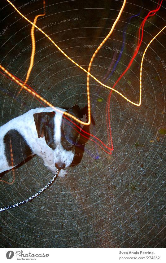 Licht und Lina. Straße Asphalt Tier Haustier Hund Boxer gehen leuchten stehen außergewöhnlich trashig Lebensfreude Hundeleine Farbfoto Außenaufnahme Kunstlicht