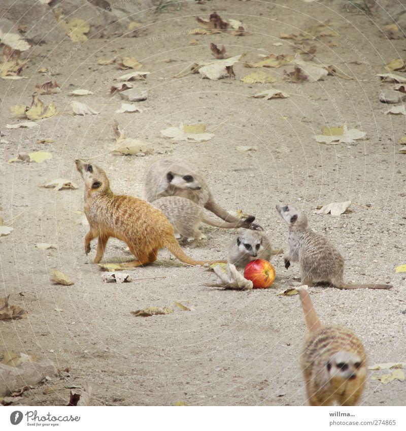 apfelauflauf Tier Blatt Spielen Bewegung Tierjunges Erde Wildtier Tiergruppe niedlich Apfel Zoo Quadrat Fressen sozial Erdmännchen Tierfamilie