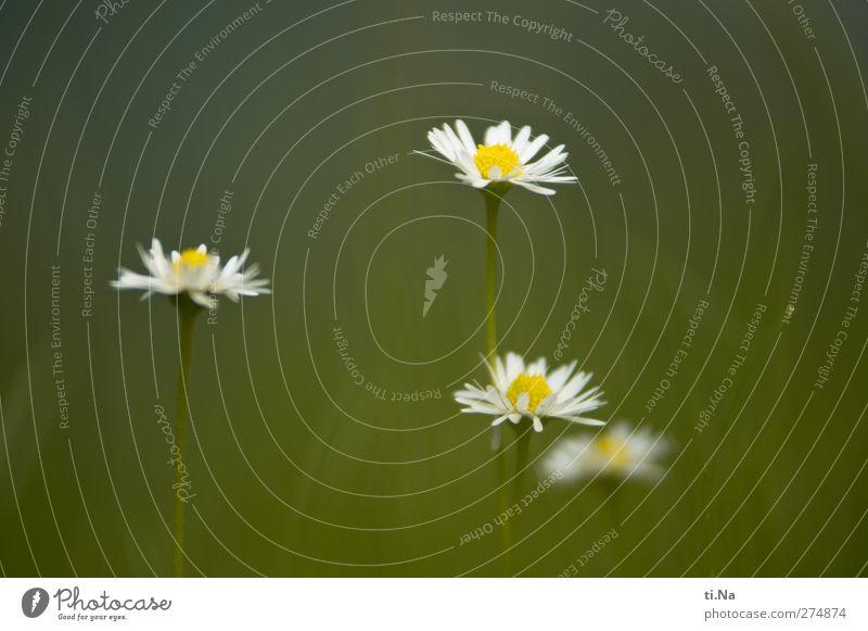 Abba weiß grün schön Sommer Pflanze Blume gelb Wiese Herbst Frühling Gras klein Blüte Garten Wachstum authentisch