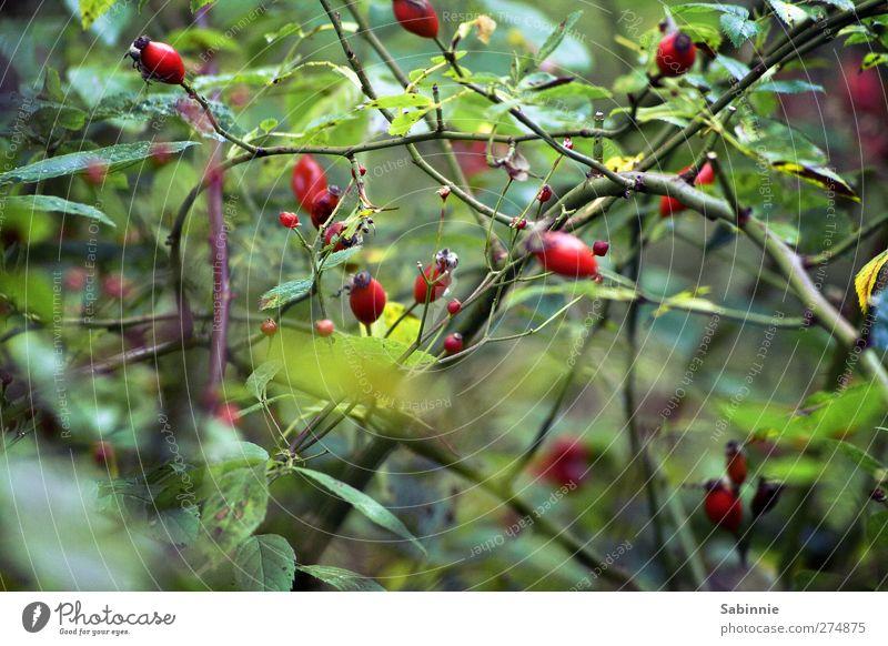 Im Dickicht Umwelt Natur Tier Pflanze Sträucher Rose Blatt Grünpflanze Wildpflanze Hundsrose Hagebutten Dorn Ast Blütenknospen Frucht grün rot Wachstum verblüht