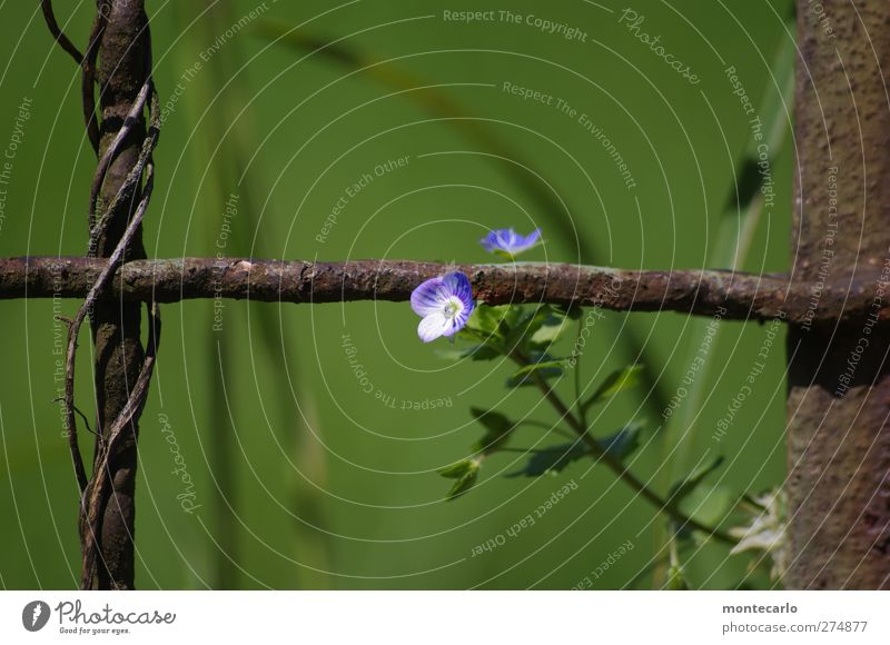 Sonntagsblümchen Natur blau alt weiß grün Sommer Pflanze Blume Blatt Umwelt klein Blüte Park braun frisch authentisch