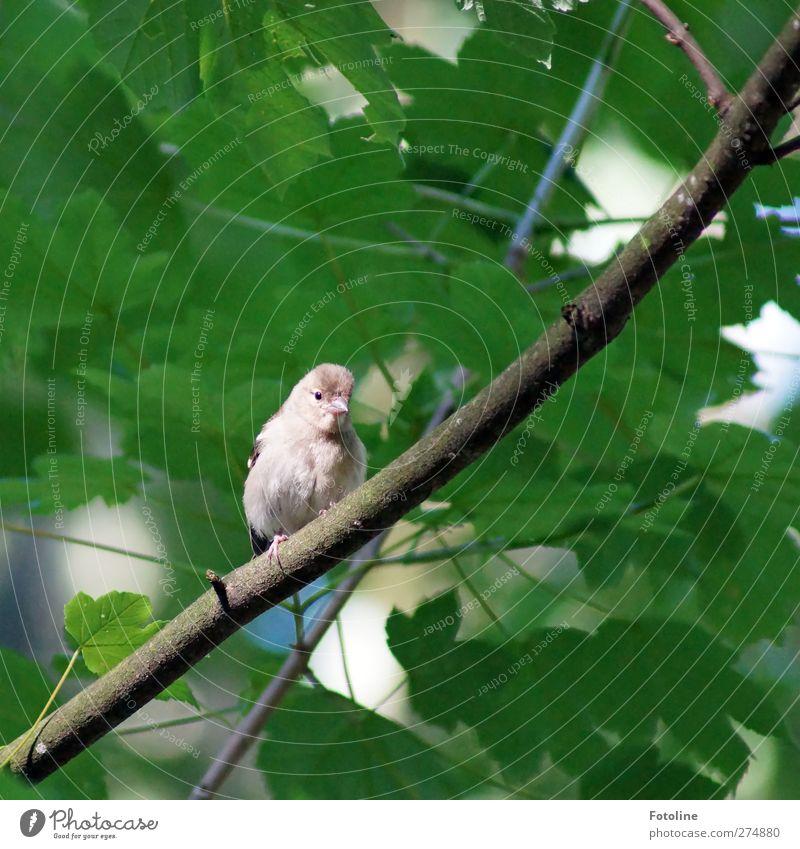 Piep, piep! Natur grün Baum Sommer Pflanze Tier Blatt Wald Umwelt hell Vogel Wildtier natürlich Flügel Tiergesicht frech