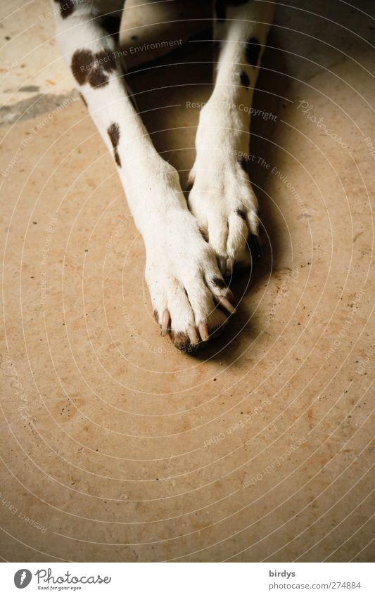 2 von 4 Hund Pfote Dalmatiner 1 Tier liegen authentisch Freundlichkeit Wärme braun Tierliebe Gelassenheit scheckig Beine Farbfoto Gedeckte Farben Innenaufnahme
