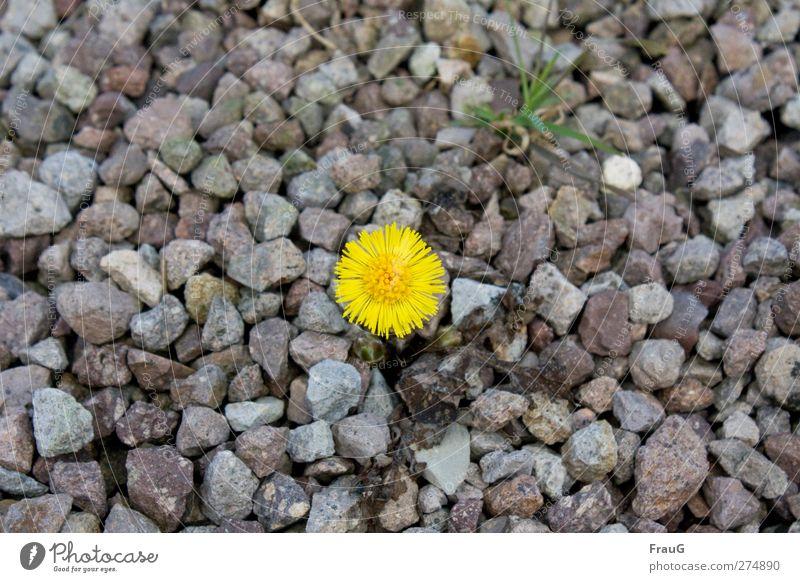 Einzelkämpfer Frühling Pflanze Blume Gras Huflattich Stein leuchten Wachstum frisch gelb grau grün Frühlingsgefühle Willensstärke Ausdauer Kies karg