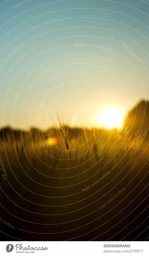 Abendkorn Getreide Natur Landschaft Erde Himmel nur Himmel Sonne Sonnenaufgang Sonnenuntergang Sonnenlicht Sommer Schönes Wetter Wärme Pflanze Sträucher