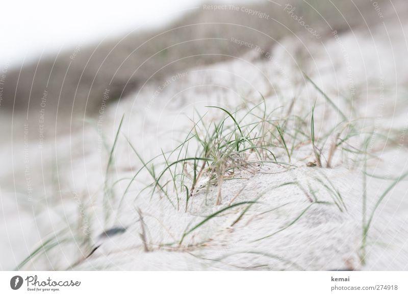 Hiddensee   Gras im Sand Ferien & Urlaub & Reisen Sommerurlaub Umwelt Natur Landschaft Pflanze Grünpflanze Wildpflanze Strand Ostsee hell grau grün ruhig