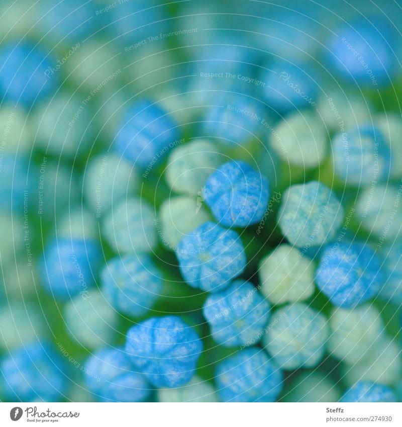 Hortensie startklar Hortensienblüte Hydrangea Hortensienknospen Blütenknospen klein Gartenblume niedlich Beginn neu zart zartes Grün hellgrün Blumenknospen