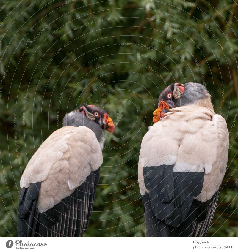 Königsgeier Zoo Tier Vogel Tiergesicht Flügel Geier 2 Blick sitzen mehrfarbig grau grün Farbfoto Außenaufnahme Menschenleer Textfreiraum oben Tag