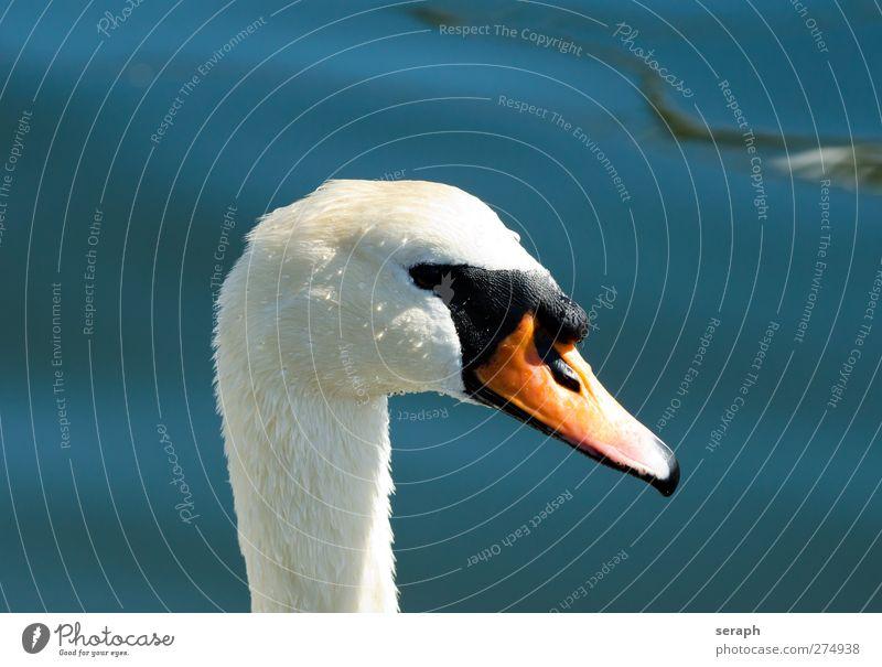 Schwan Wasser Meer Tier See Vogel Wellen natürlich wild Wassertropfen Feder Flügel beobachten Tropfen Im Wasser treiben Ente Schnabel