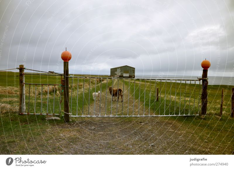 Island Natur Landschaft Himmel Wolken Klima Haus Hütte Gebäude Tür Tor Zaun Eingang Tier Nutztier Schaf Lamm 2 Tierfamilie natürlich Neugier Farbfoto