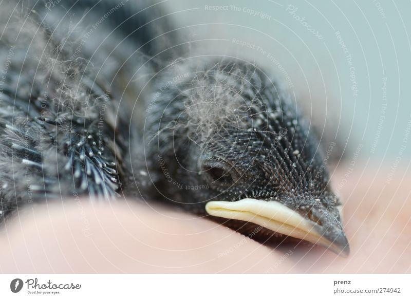 Küken Umwelt Natur Tier Wildtier Vogel 1 Tierjunges blau grau klein Kopf Schnabel Schwalben Rauchschwalbe Farbfoto Außenaufnahme Menschenleer Textfreiraum unten