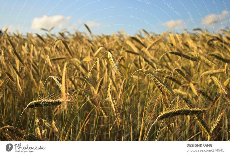 Ein Bett im Kornfeld... Natur Landschaft Erde Himmel Wolken Sonne Sonnenlicht Sommer Schönes Wetter Wärme Pflanze Sträucher Nutzpflanze Feld dünn frei