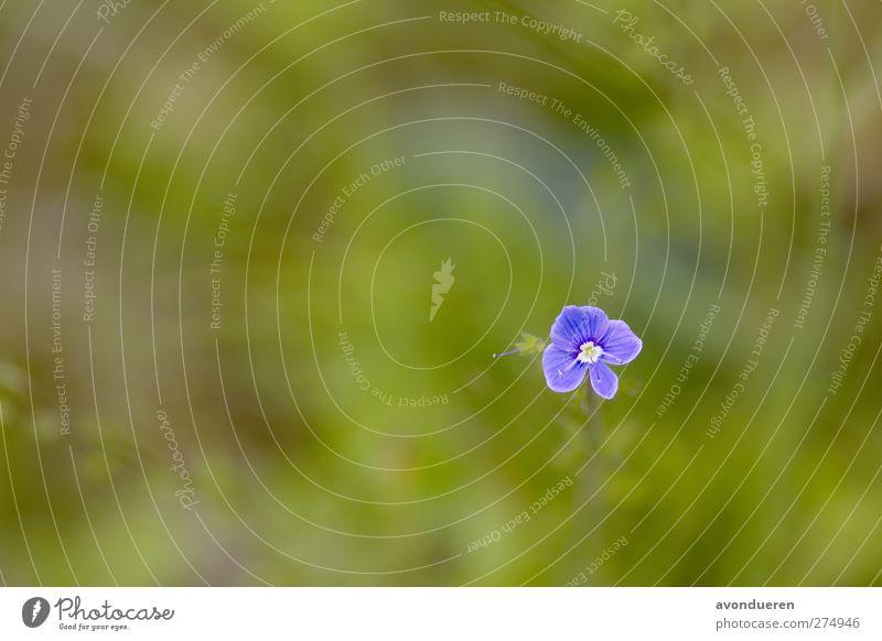Gamander-Ehrenpreis ( Veronica chamaedrys ) Natur Pflanze Frühling Blume Blüte Wildpflanze Wiese Wald Blühend Wachstum blau violett Jahr Jahreszeiten blühen