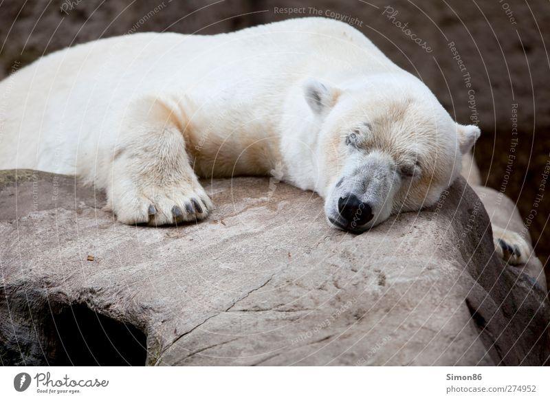 In a deep sleep Natur Ferien & Urlaub & Reisen weiß schön Einsamkeit Tier ruhig Erholung Stein träumen Felsen Zufriedenheit Kraft Wildtier groß schlafen