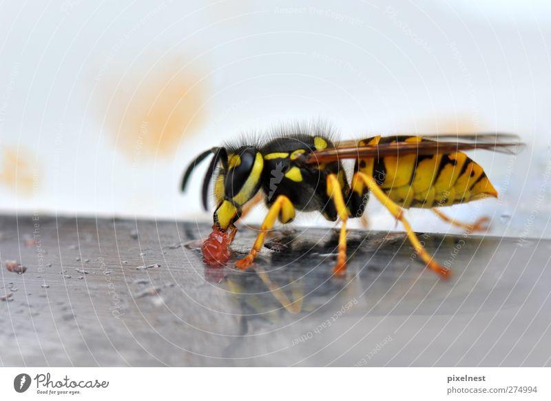 Wasp eating jelly Tier schwarz gelb Ernährung Wildtier Biene Wespen