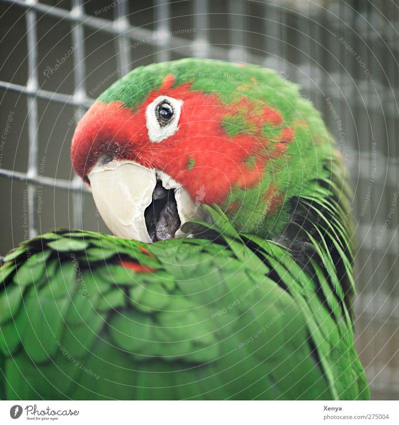 Papagei grün rot Tier Vogel Neugier Tiergesicht Zoo exotisch frech Papageienvogel