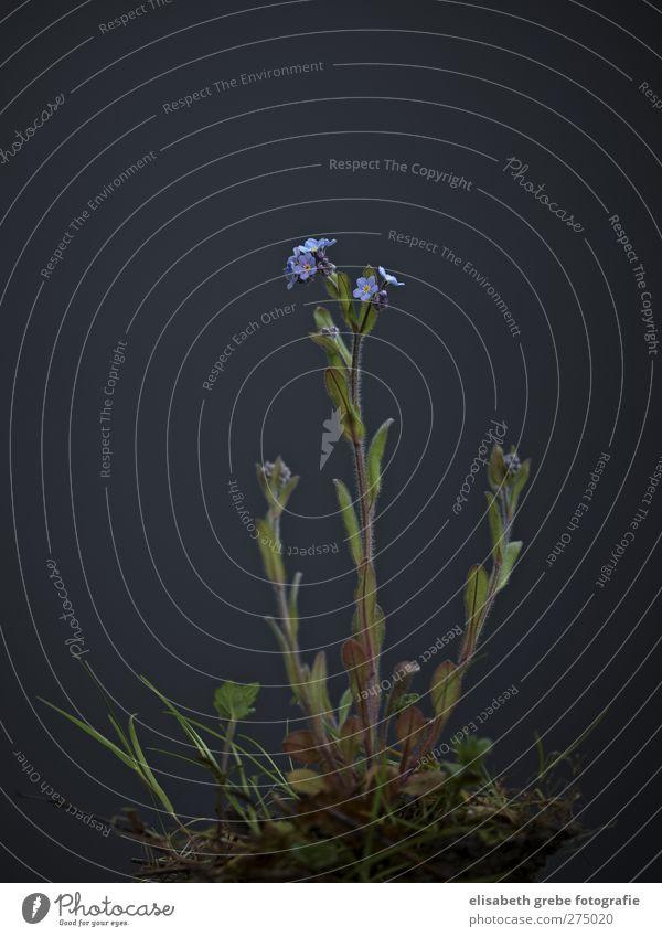 Vergissmeinnicht Pflanze Frühling Blume Wildpflanze Vergißmeinnicht ästhetisch Stil Umwelt Wald grün Farbfoto Studioaufnahme Nahaufnahme Textfreiraum oben