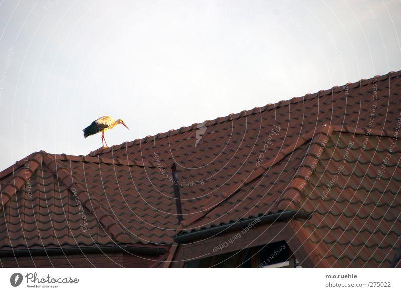 bringing babys Umwelt Natur Klima Schönes Wetter Dorf Menschenleer Dach Tier Wildtier Vogel Storch 1 Glück Symbole & Metaphern Dachziegel Storchschnabel