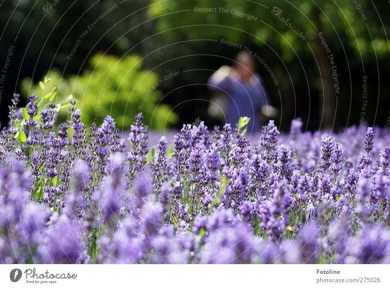 Die Farbe Lila Umwelt Natur Pflanze Sommer Blume Blüte Garten Park Duft hell natürlich violett Lavendel Lawendelfeld Farbfoto mehrfarbig Außenaufnahme
