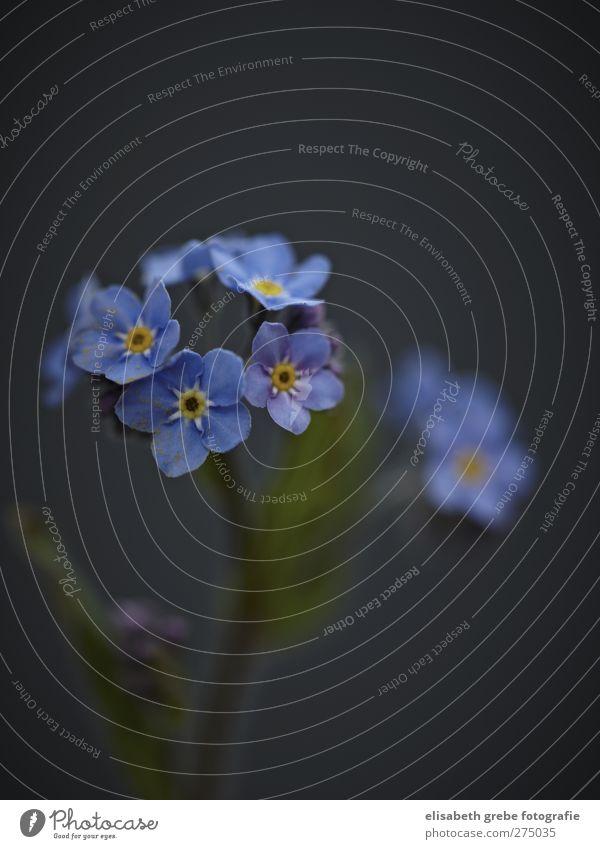Vergissmeinnicht blau Pflanze Blume Liebe Blüte Garten Stimmung Duft Wiesenblume Vergißmeinnicht