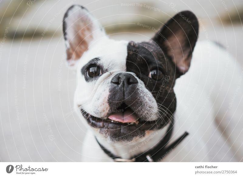 Iggy Tier Haustier Hund Tiergesicht 1 lachen fantastisch Freundlichkeit Fröhlichkeit Glück niedlich schwarz weiß Freude Lebensfreude Bulldogge