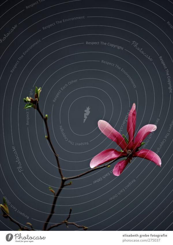 Magnolie Natur Pflanze Blüte Stimmung rosa ästhetisch Sträucher Ast Duft Blütenknospen Wildpflanze Magnolienblüte