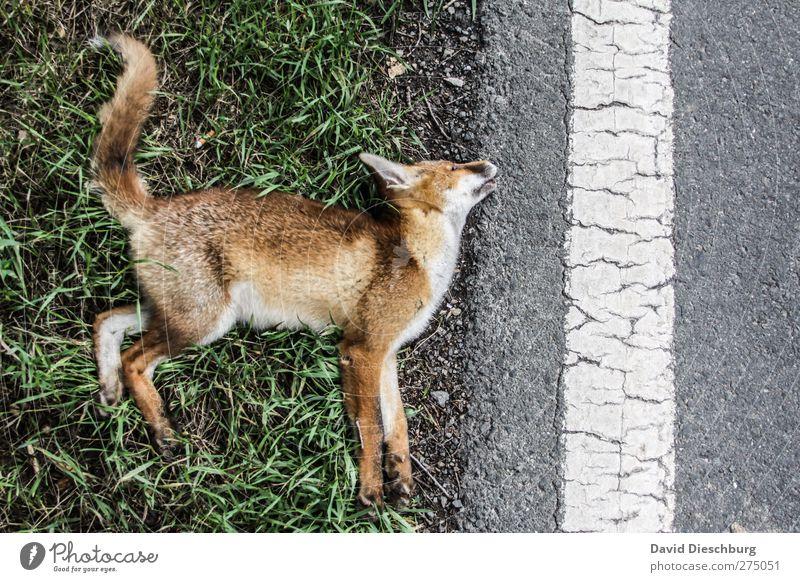Sein letzter Morgen Verkehrswege Verkehrsunfall Straße Wildtier Totes Tier Fell Pfote 1 braun gelb grau Tod Rotfuchs Unfall Schwanz Linie Seitenstreifen