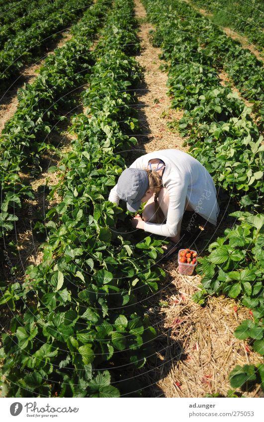 Beerensuche Frucht Dessert Marmelade Bioprodukte Natur Sommer Pflanze Nutzpflanze Feld Arbeit & Erwerbstätigkeit Blühend genießen Erdbeeren pflücken suchen