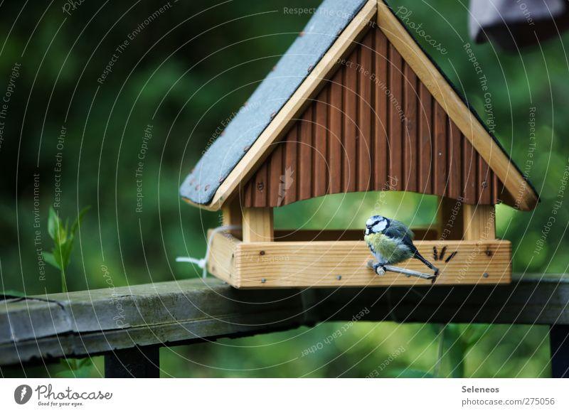 ich muss aufhören die Vögel zu füttern Umwelt Natur Landschaft Pflanze Tier Frühling Sommer Schönes Wetter Garten Vogel Meisen 1 klein Futterhäuschen Farbfoto