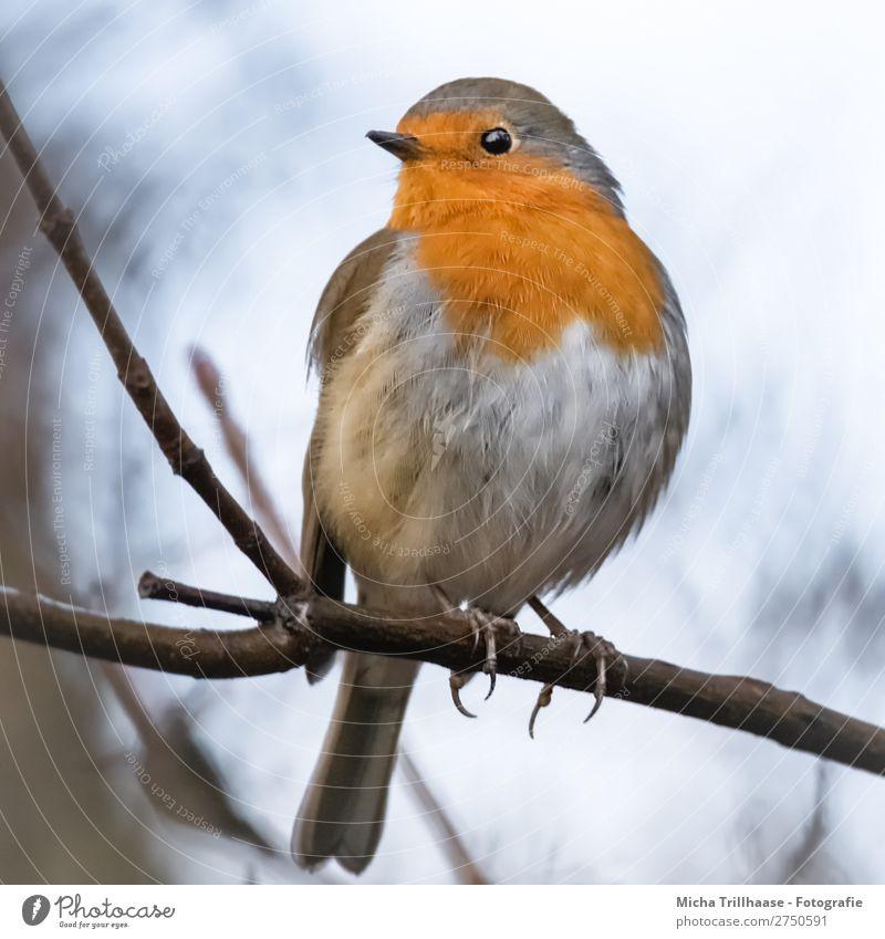 Rotkehlchen Portrait Himmel Natur blau Baum Tier schwarz gelb Auge natürlich orange Vogel leuchten glänzend Wildtier sitzen Feder