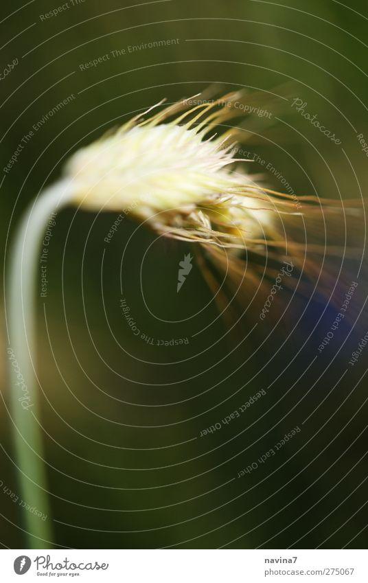 Diva grün Umwelt Ernährung Wachstum nah Weizen Nutzpflanze