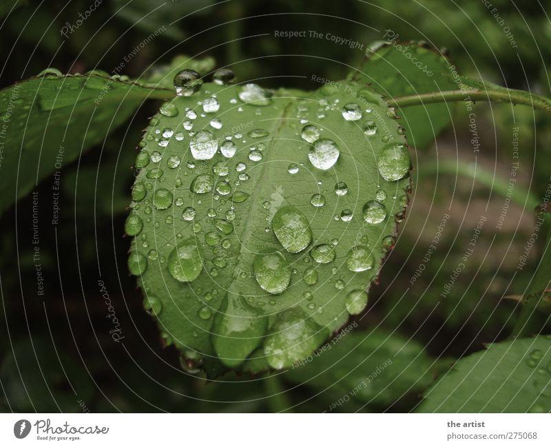 nach dem Regen Natur Pflanze Wassertropfen Blatt Garten frisch nass grün Gedeckte Farben Außenaufnahme Tag Kontrast