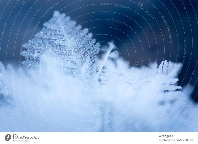 Zartes Eisblättchen I Natur Winter Frost kalt klein natürlich blau weiß Eiskristall Makroaufnahme Querformat Eisskulptur zart zerbrechlich filigran Farbfoto