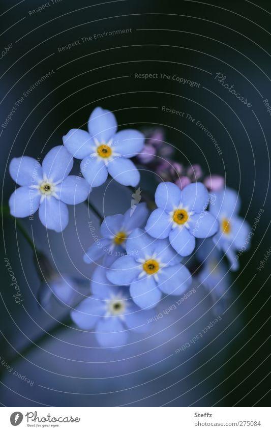 nicht vergessen - Vergißmeinnicht Frühlingsblumen zarte Blüten Blume blau romantisch Valentinstag Geburtstag Glückwünsche dezent dunkelblau graublau hellblau