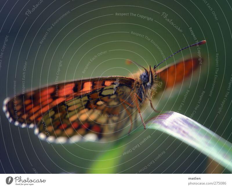 Blauauge Tier Schmetterling Flügel 1 blau braun grün ausruhen Fühler Gras mehrfarbig Außenaufnahme Makroaufnahme Menschenleer Textfreiraum oben Tag