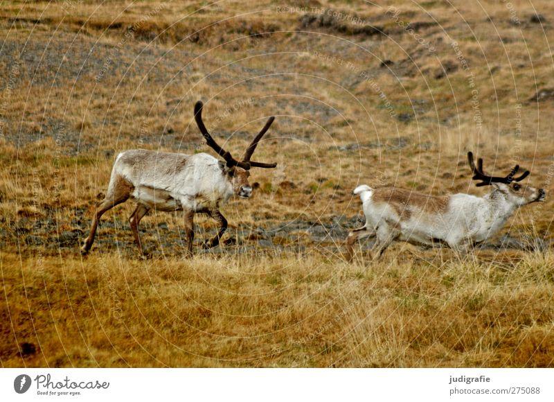 Island Natur Tier Umwelt Wildtier natürlich wild Tierpaar laufen Hügel Island Rentier