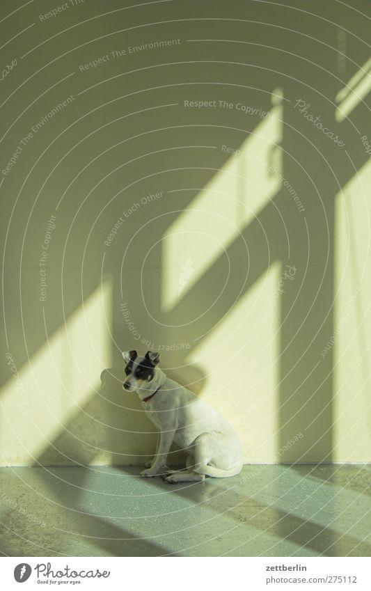 Hundi again Tier Haus Wand Mauer Gebäude Raum sitzen warten Häusliches Leben ausdruckslos hocken Terrier Fensterkreuz Jack-Russell-Terrier