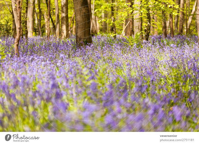 Hasenglöcklein unter Buchen Natur Pflanze Sommer Baum Blume Wildpflanze Wald Duft unten blau grün Romantik ästhetisch Erholung Frieden Idylle ruhig Stimmung