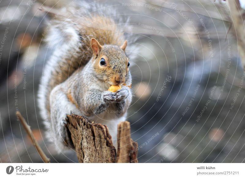 Squirrel at lunch Nuss Ernährung Essen Mittagessen Ausflug Abenteuer Freiheit Park Garten Veterinär Umwelt Natur Landschaft Sommer Winter Baum Wiese Wald Felsen