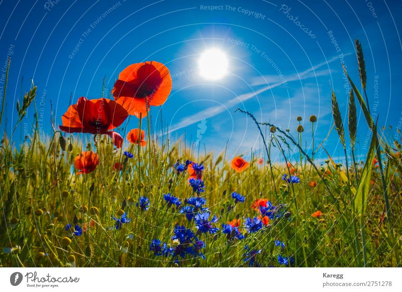 red poppies in a cornfield in the sunshine Umwelt Natur Landschaft Pflanze Himmel Wolkenloser Himmel Sonne Sonnenlicht Sommer Schönes Wetter Gras Blüte