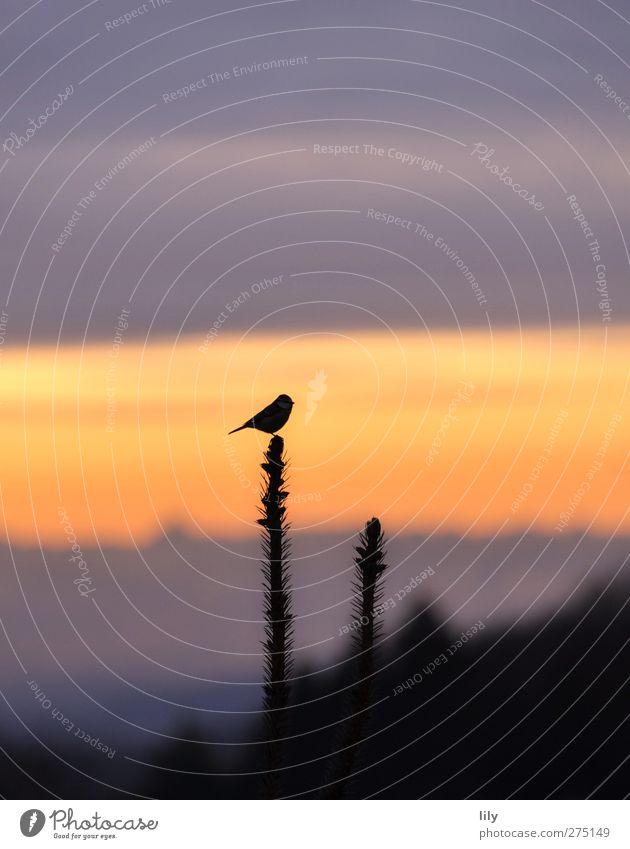 weitblick. Natur Himmel Wolken Sonnenaufgang Sonnenuntergang Wildtier Vogel 1 Tier blau gelb violett Farbfoto Außenaufnahme Textfreiraum oben Morgendämmerung