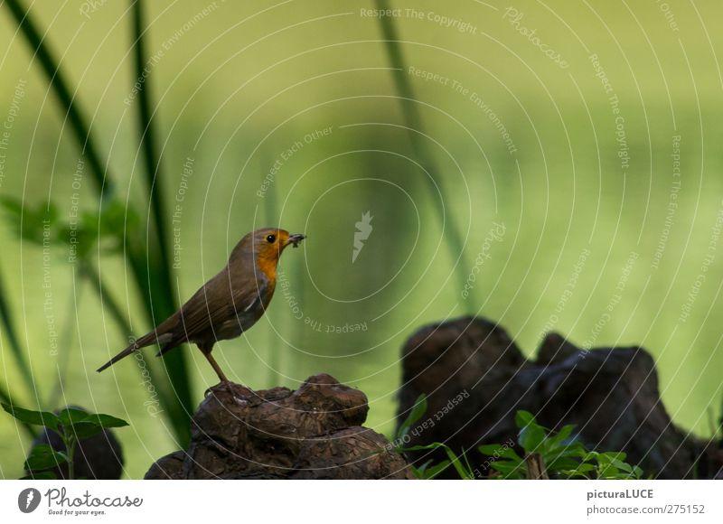 Erithacus rubecula ist satt und glücklich Tier Vogel Fressen warten Glück niedlich braun orange Zufriedenheit Tierliebe Natur Rotkehlchen Seeufer Farbfoto