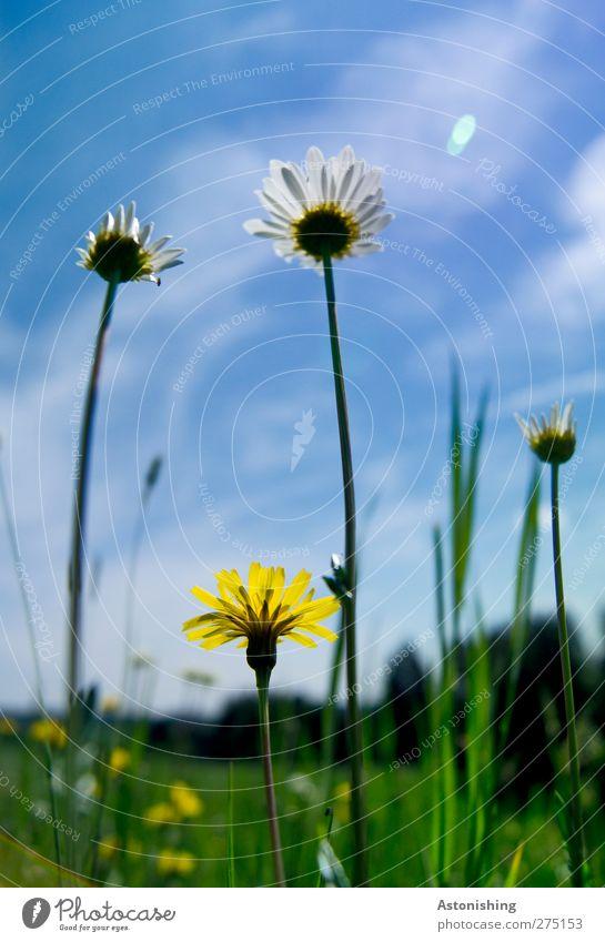 Wiese Umwelt Natur Landschaft Pflanze Himmel Wolken Wetter Schönes Wetter Blume Gras Blatt Blüte Blühend stehen Wachstum blau gelb grün Gänseblümchen Löwenzahn