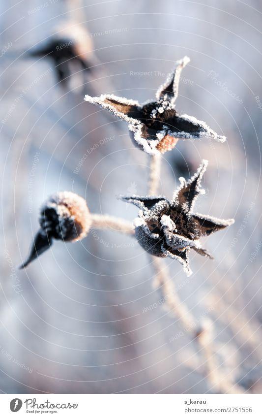 Frost Umwelt Natur Pflanze Winter Wetter Eis Schnee Garten kalt grau weiß Vergänglichkeit Temperatur Zweige u. Äste Blüte Sträucher gefroren Jahreszeiten